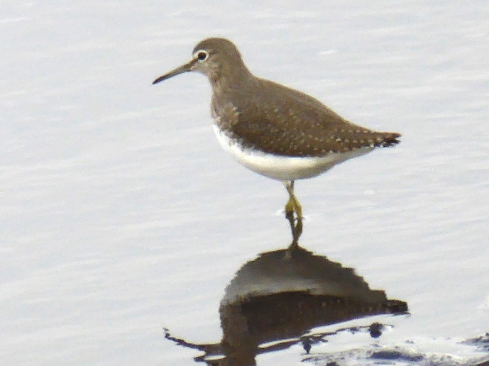 This image has an empty alt attribute; its file name is GreenSandpiper-1.jpg